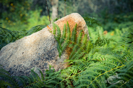 España, Sanabria, Spain, Zamora, fern, helecho, piedra, pteridophyte, stone